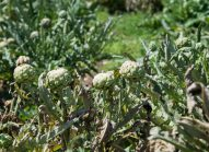 artichaut-planter-bonduelle