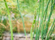 asperge-cultiver-bonduelle