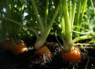 carotte-cultiver-bonduelle