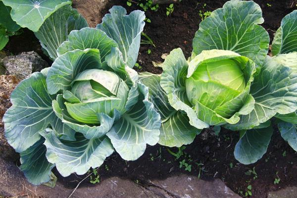 Le chou-fleur - Fiche légume, valeurs nutritionnelles ...