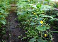concombre-planter-bonduelle