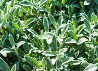crosne-cultiver-bonduelle