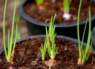 echalote-cultiver-bonduelle