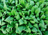 epinard-legume-cultiver