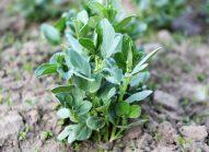 feve-planter-bonduelle