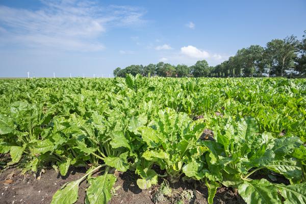 grelos-cultiver-bonduelle