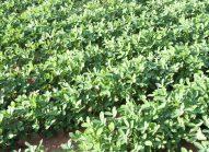 lentilles-planter-bonduelle