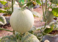 melon-cultiver-bonduelle