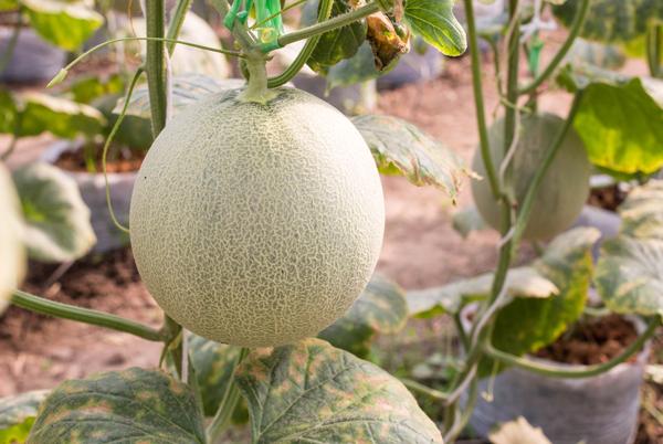 Le melon - Fiche légume, valeurs nutritionnelles, calories