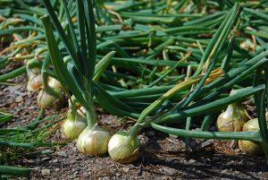 oignons-cultiver-bonduelle