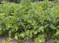 panais-planter-bonduelle