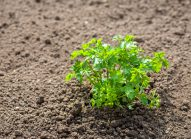 persil-cultiver-bonduelle