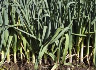 poireau-cultiver-bonduelle