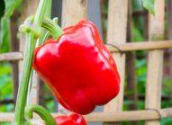 poivron-cultiver-bonduelle