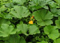 potiron-planter-bonduelle