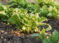 radis-planter-bonduelle