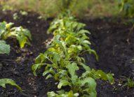 roquette-planter-bonduelle