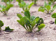 rutabaga-planter-bonduelle