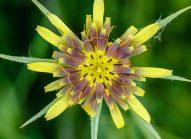 salsifis-fleur-bonduelle