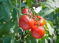 tomate-cultiver-bonduelle
