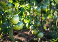 tomate-planter-bonduelle
