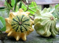zucca-orto-squash-courge-vegetable garden-potager