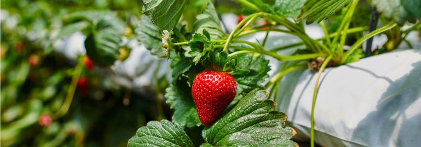 fraise-cultivee-hydroponie-ville