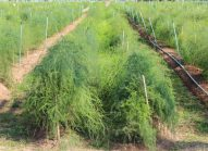asperge-planter-bonduelle