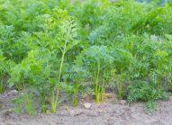 carotte-planter-bonduelle