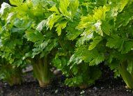 celeri-branche-cultiver-bonduelle