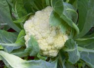 choux-fleur-cultiver-bonduelle