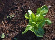 endive-planter-bonduelle