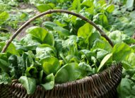 epinard-potager-legume