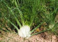 fenouil-cultiver-bonduelle