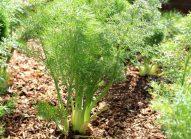 fenouil-planter-bonduelle