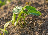 flageolet-planter-bonduelle