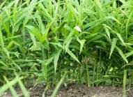 gingembre-cultiver-bonduelle