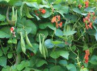 haricot-rouge-cultiver-bonduelle