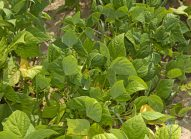 haricot-vert-planter-bonduelle