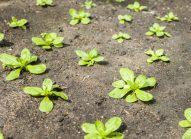 mache-planter-bonduelle