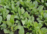 oseille-planter-bonduelle