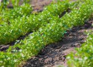 persil-planter-bonduelle
