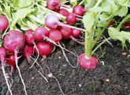 radis-cultiver-bonduelle