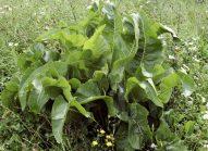 raifort-cultiver-bonduelle